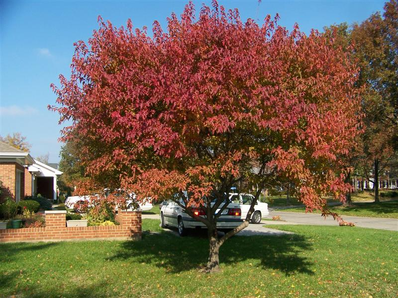 Picture of Acer ginnala 'Flame' Flame Amur Maple