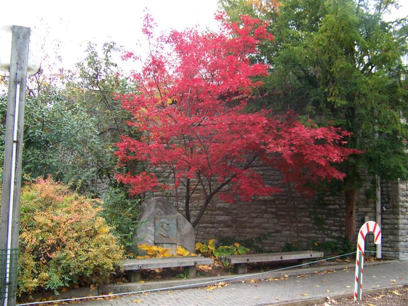 Picture of Acer palmatum 'Oshio beni' Oshio beni Japanese Maple