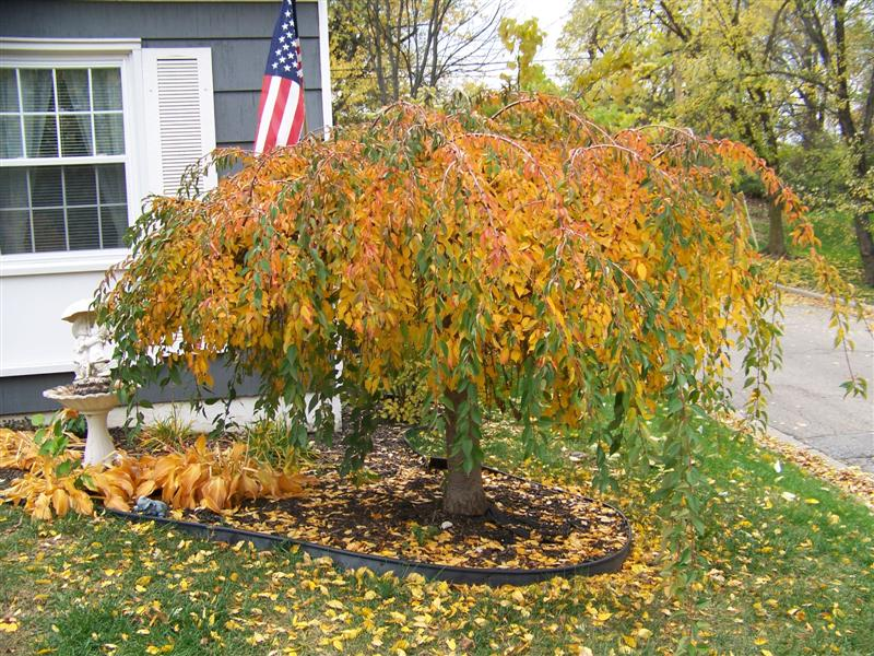 Picture of Prunus x 'Snofozam' Snow Fountains® Snow Fountains Weeping Cherry