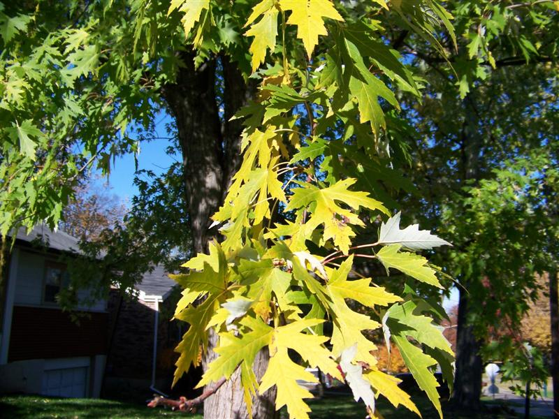 Picture of Acer saccharinum  Silver Maple