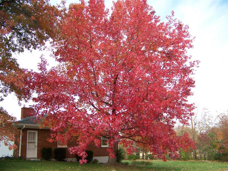 Picture of Liquidambar styraciflua   Sweetgum