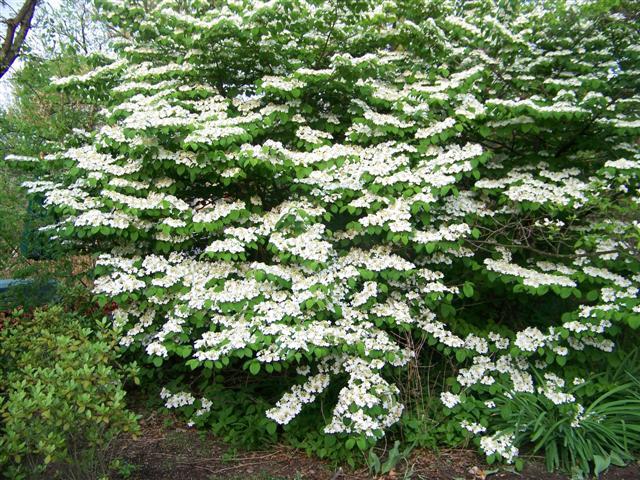 Viburnum Plicatum F Tomentosum Shasta Shasta Doublefile