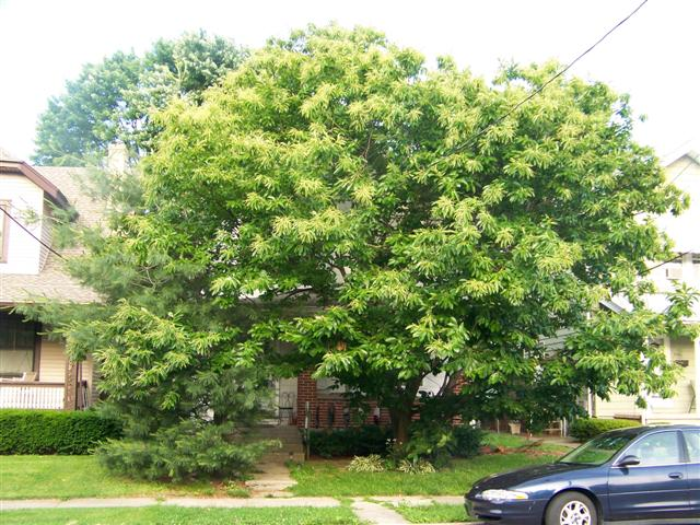 Picture of Castanea mollissima  Chinese Chestnut