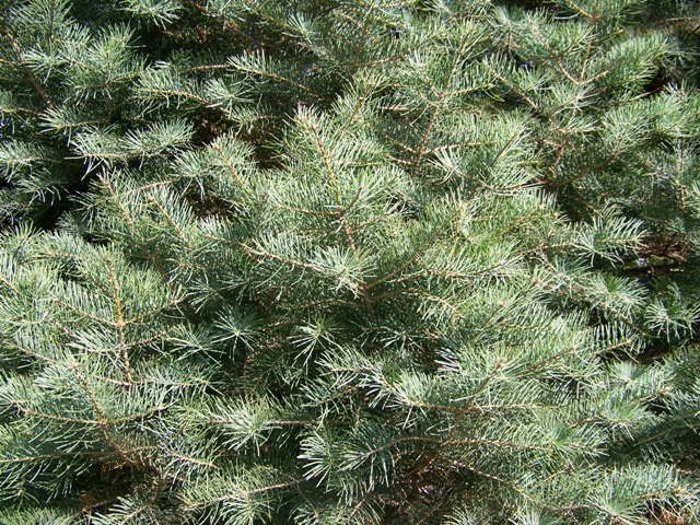Picture of Abies concolor  White Fir