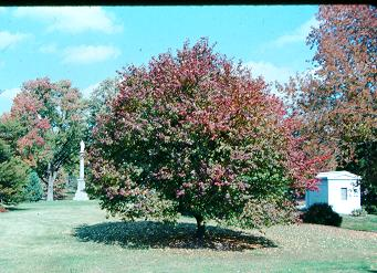 Picture of Acer ginnala  Amur Maple