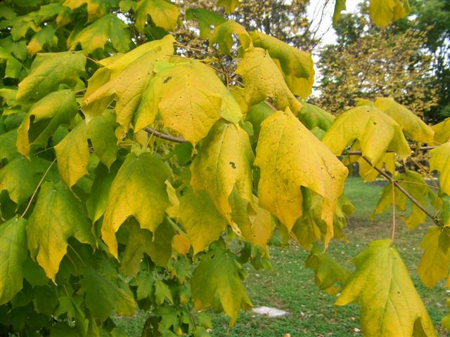 Picture of Acer nigrum  Black Maple