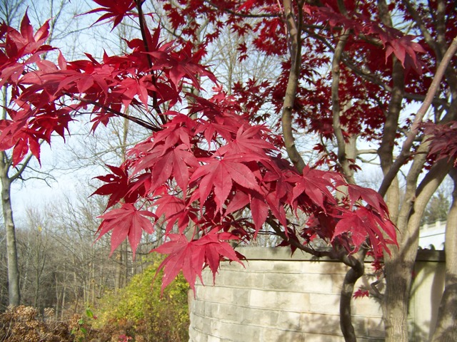 Picture of Acer palmatum 'Bloodgood' Bloodgood Japanese Maple