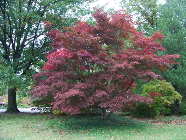 Picture of Acer palmatum 'Burgundy Lace' Burgundy Lace Japanese Maple