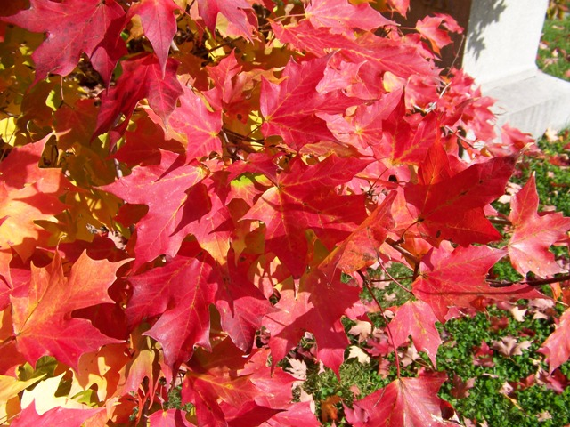 Acer saccharum Acer.saccharum.Bonfire.fall.color.JPG