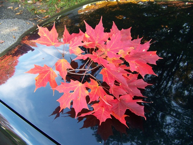 Acer saccharum Acer.saccharum.Bonfire.leaves.in.fall.JPG