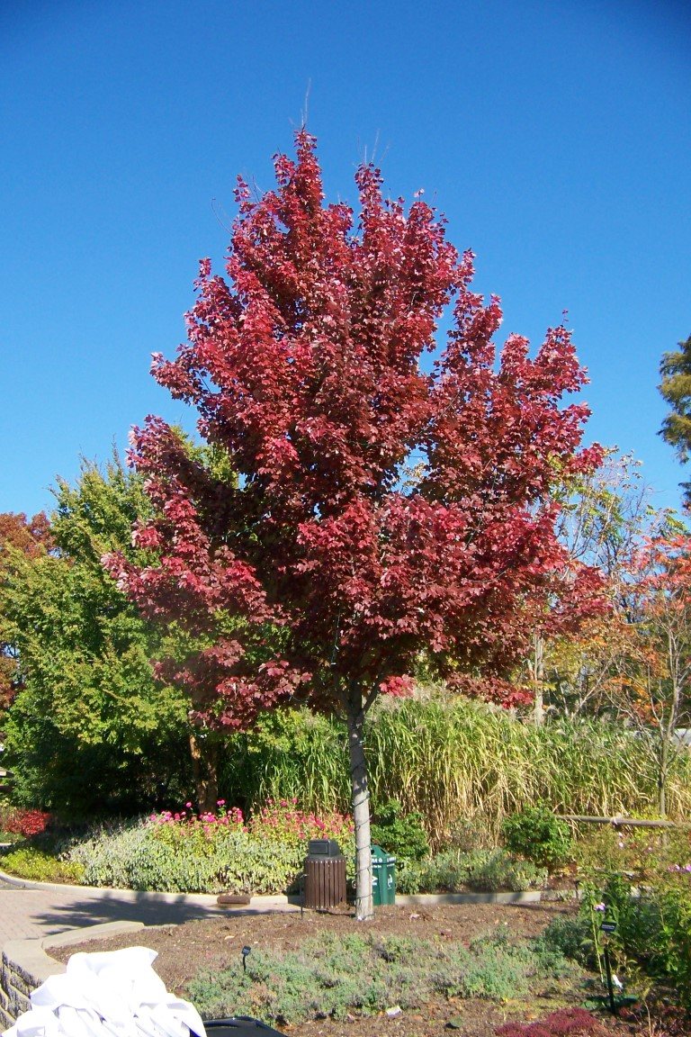 Picture of Acer rubrum 'Sun Valley' Sun Valley Red Maple