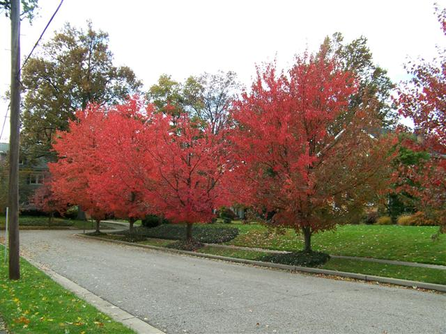 "Picture of Acer rubrum 'Franksred' Red Sunsetâ""¢ Red Sunset Red Maple"