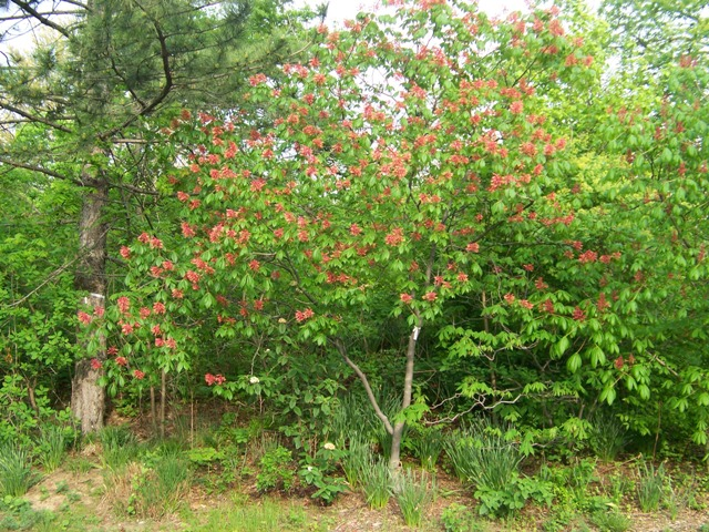 Picture of Aesculus pavia  Red Buckeye