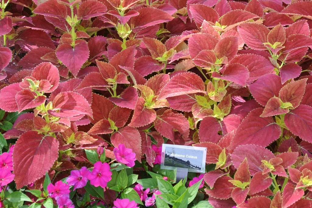 Picture of Solenostemon scutellarioides  'Alabama' Alabama Coleus