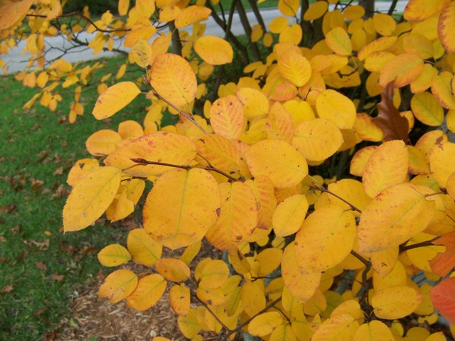 Picture of Amelanchier laevis  Alleghany Serviceberry