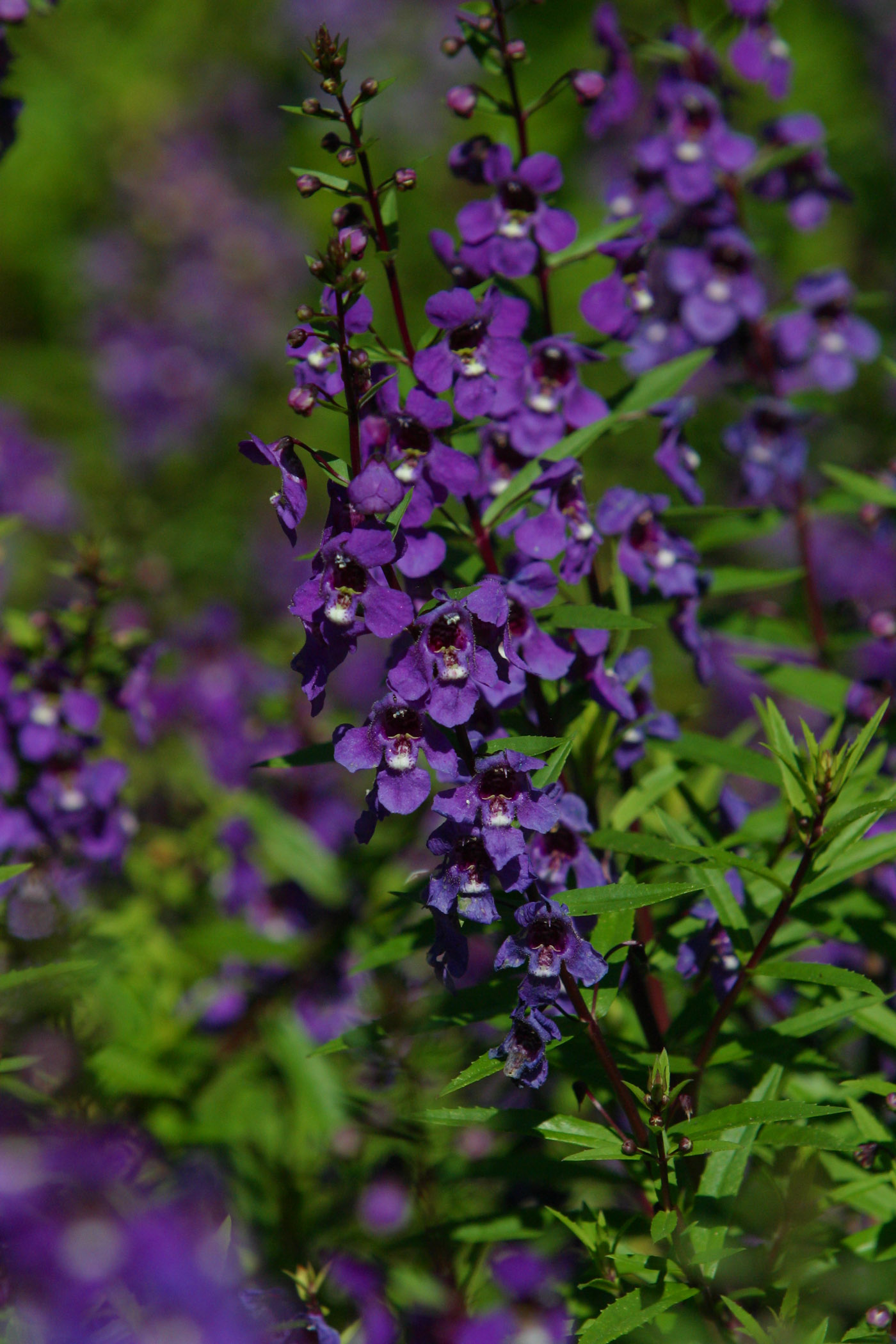 "Picture of Angelonia augustifolia 'Serenaâ""¢ Purple' Serenaâ""¢ Purple Summer Snapdragon"