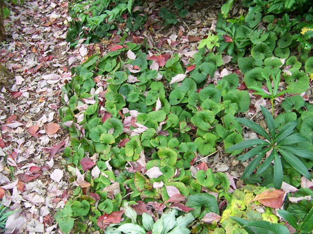 Picture of Asarum canadense  Wild Ginger