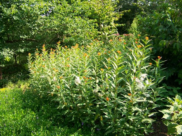 Picture of Asclepias curassavica Silky Deep Red Silky Deep Red Milkweed