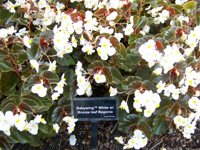 "Picture of Begonia hybrida BabyWingâ""¢ White Bronze Leaf"