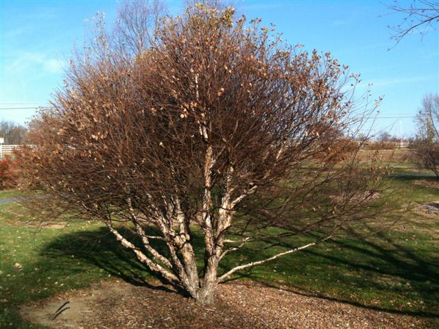 "Picture of Betula nigra 'Little King' Fox Valleyâ""¢ River Birch"