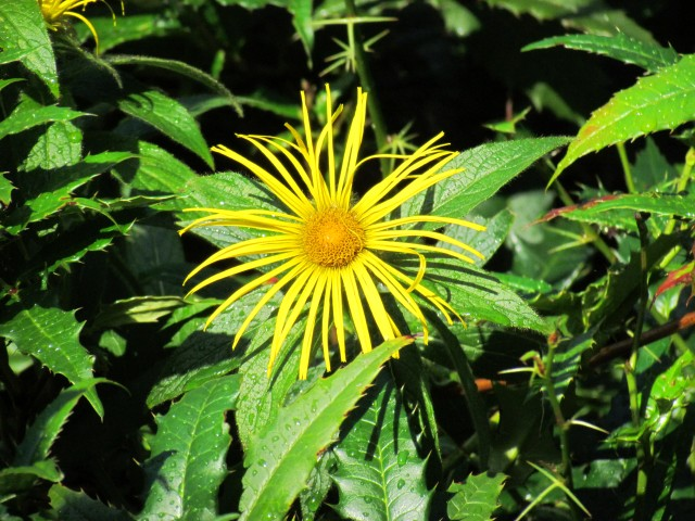 Inula magnifica BhxInulaMagnificaFlower.JPG