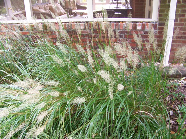 Picture of Calamagrostis brachytricha  Korean Feather Reed Grass