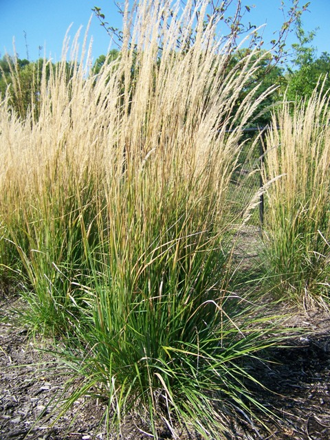 Picture of Calamagrostis x acutiflora 'Karl Foerster' Karl Foerster Feather Reed Grass
