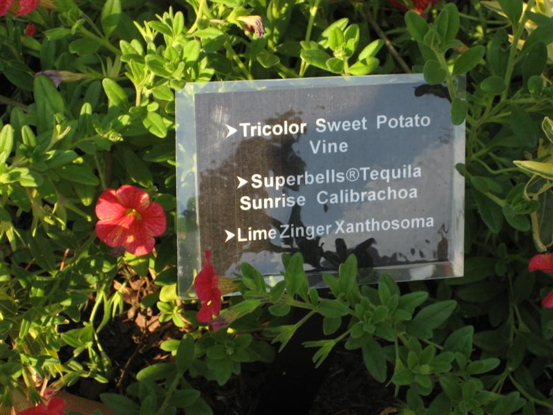 Calibrachoa  Calibrachoa_sign.JPG