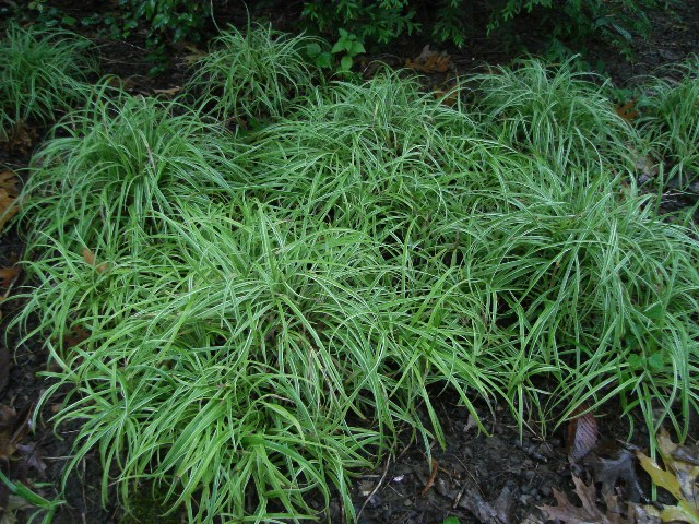 Picture of Carex  'Silver Sceptre' Silver Sceptre Sedge