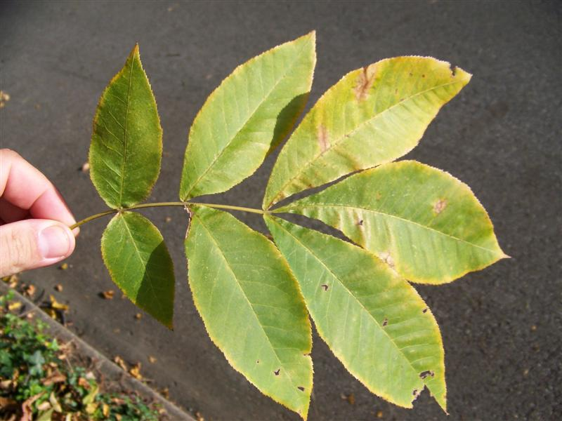 Picture of Carya cordiformis  Bitternut Hickory