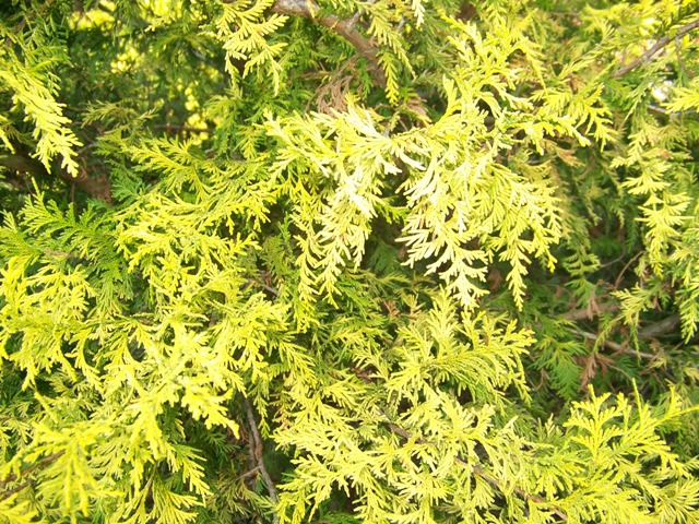 Picture of Chamaecyparis pisifera 'Vintage Gold' Vintage Gold False Cypress