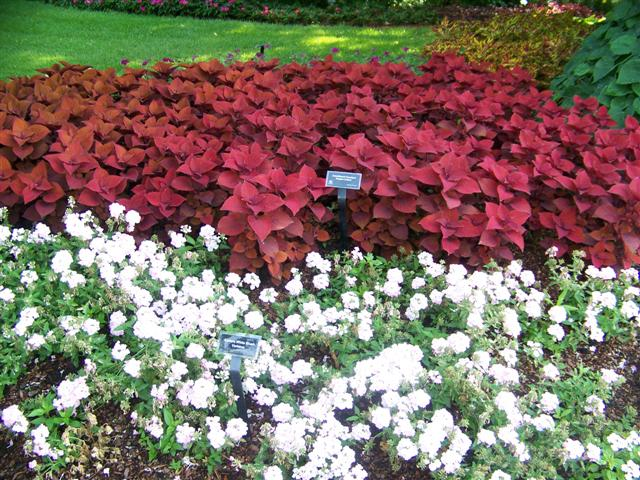 Picture of Solenostemon  Colorblaze® Keystone Kopper™ Colorblaze® Keystone Kopper™ Coleus