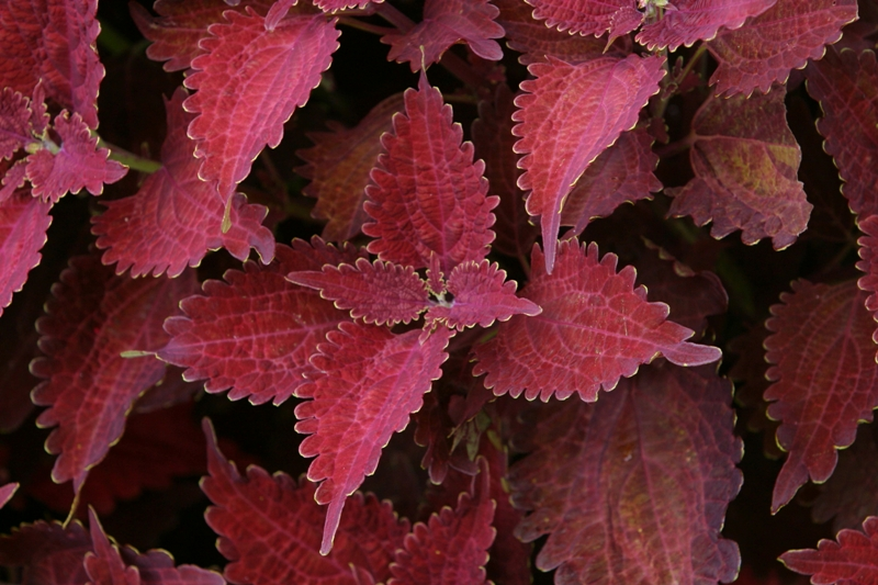 Picture of Solenostemon scutellarioides 'Juliet Quartermain' Juliet Quartermain Coleus