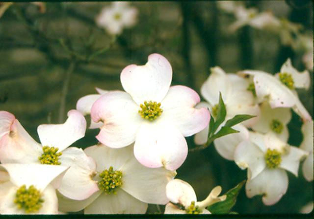 Picture of Cornus florida 'Cloud Nine' Cloud Nine Flowering Dogwood