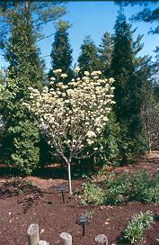 cornus florida 39 cloud nine 39 cloud nine flowering dogwood on. Black Bedroom Furniture Sets. Home Design Ideas