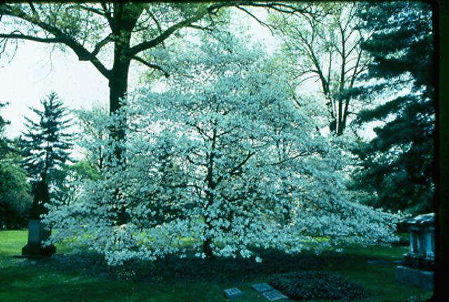 Picture of Cornus florida 'Grovflor' Spring Grove® Spring Grove Flowering Dogwood