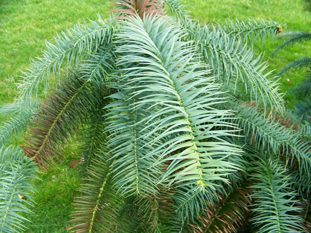 Picture of Cunninghamia lanceolata 'Glauca' Blue Chinafir