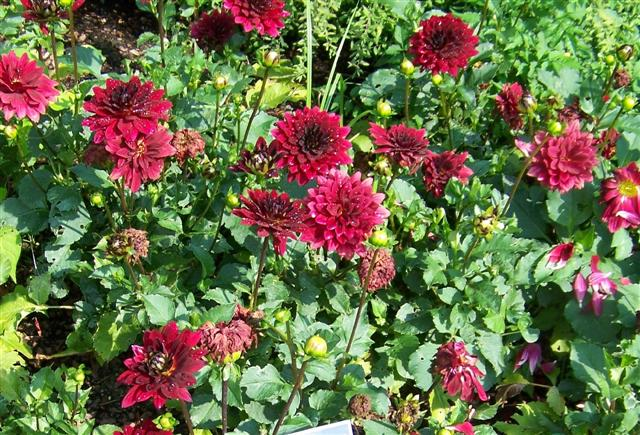 Picture of Dahlia  'XXL Dark Red' XXL Dark Red Dahlia