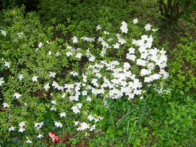 Picture of Rhododendron  'Delaware Valley White' Delaware Valley White Azalea