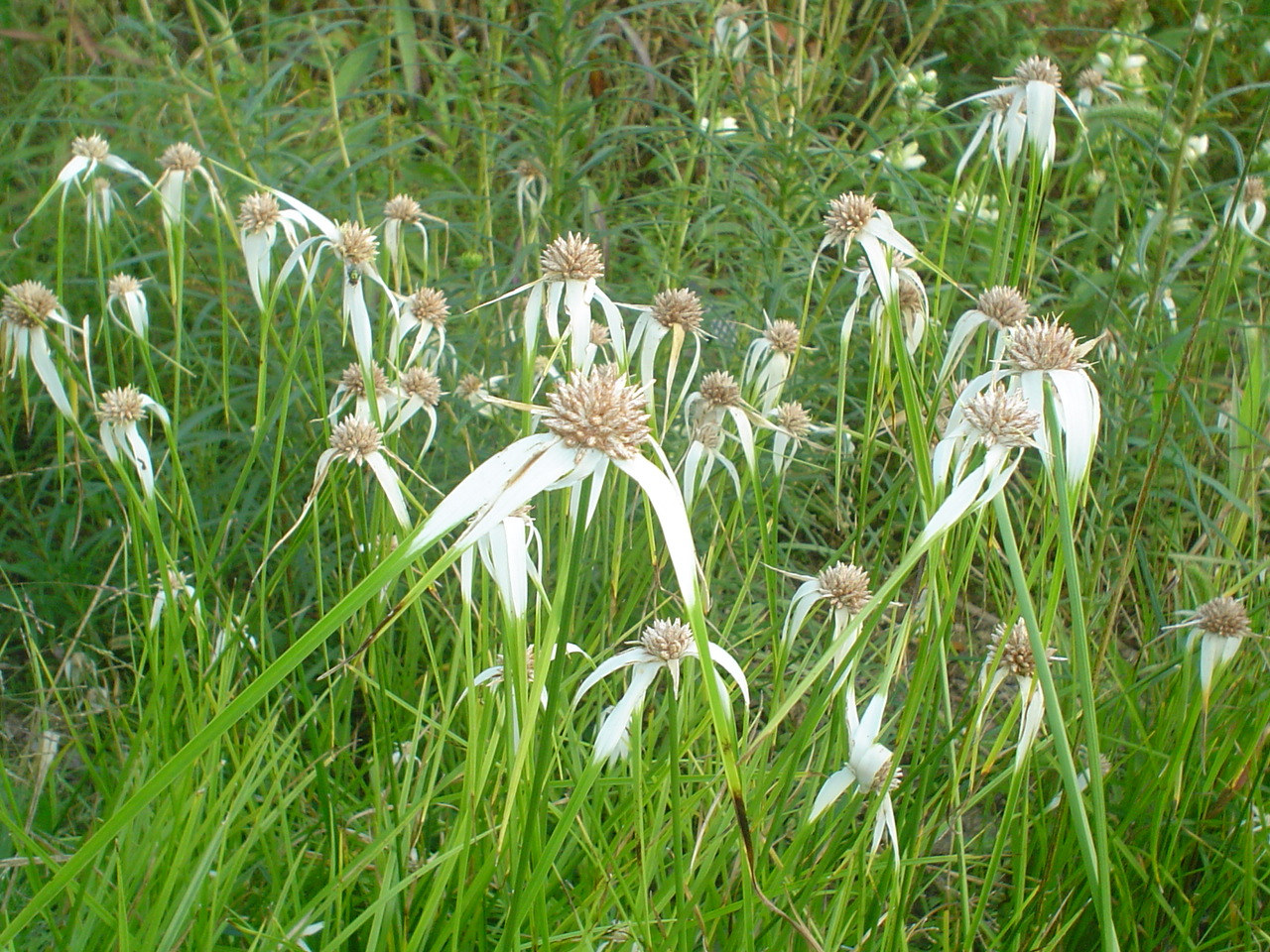 Picture of Dichromena colorata  Whitetop Sedge