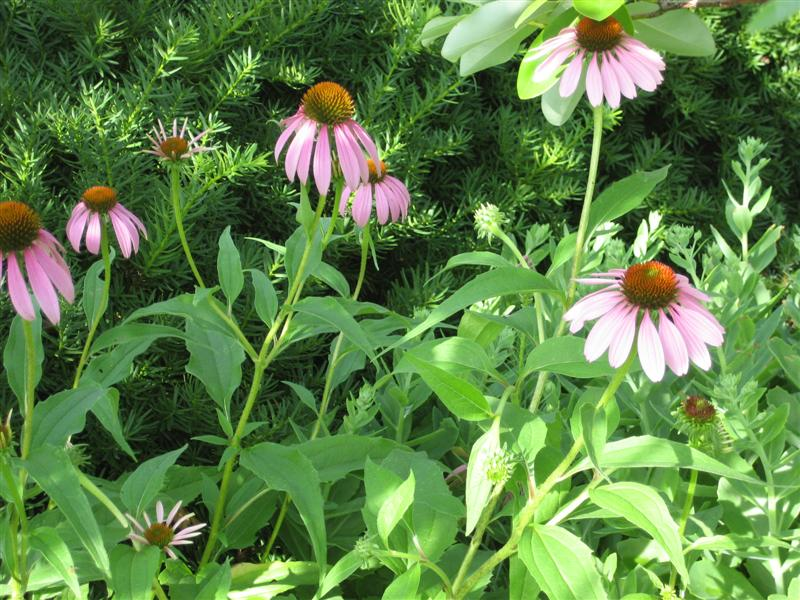 how to use echinacea plant