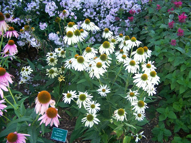 "Picture of Echinacea  'Sunrise' Big Skyâ""¢ Sunrise Coneflower"