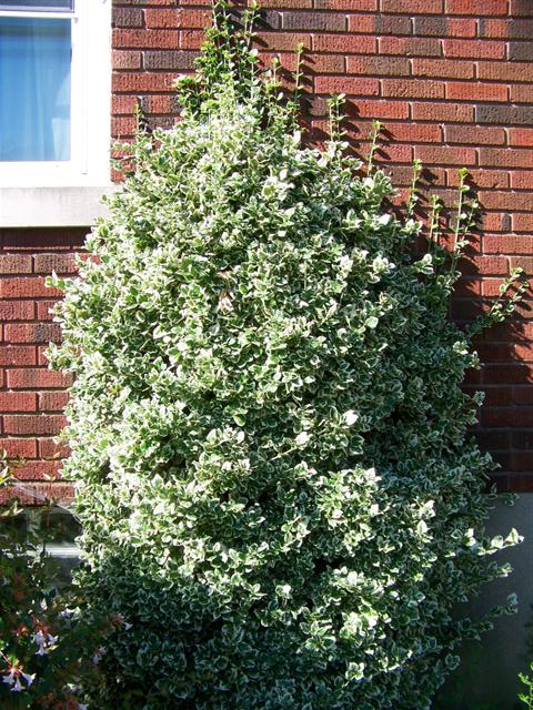 Picture of Euonymus fortunei 'Emerald Gaiety' Emerald Gaiety Wintercreeper