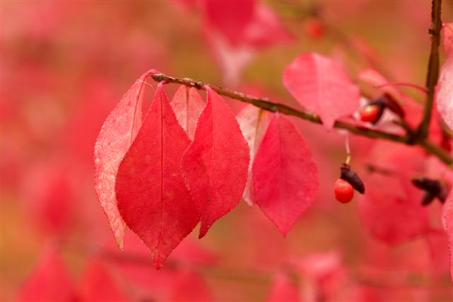 Picture of Euonymus alatus 'Compactus' Compact Burning Bush