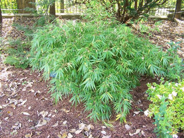 Fargesia rufa 'Green Panda'™ Green Panda Bamboo on ...  Fargesia rufa &...