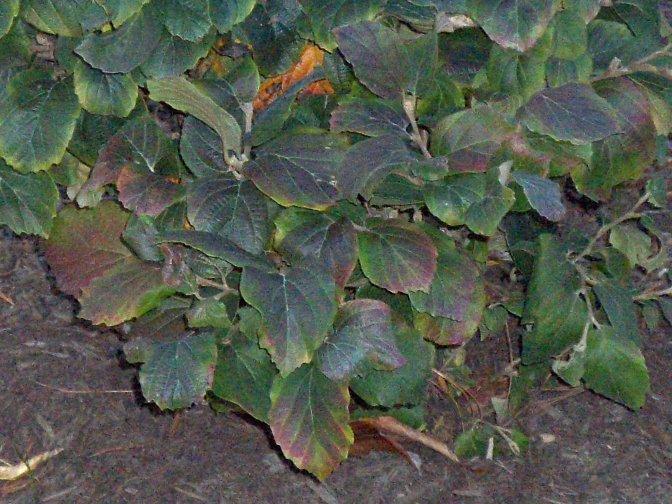 Fothergilla Gardenii Dwarf Fothergilla On Plantplaces Com