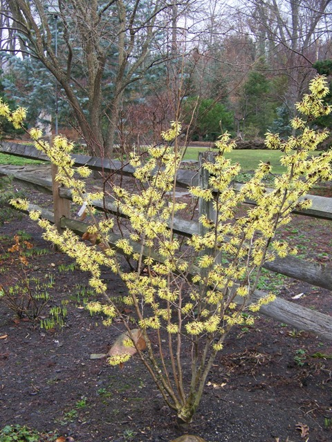 Picture of Hamamelis x intermedia 'Pallida' Pallida Witchhazel