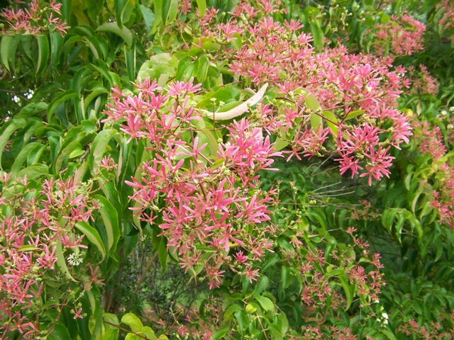 Picture of Heptacodium miconioides  Seven-son Flower