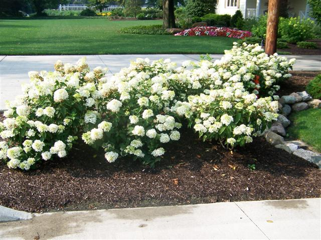 Picture of Hydrangea paniculata Little Lamb Little Lamb Hydrangea