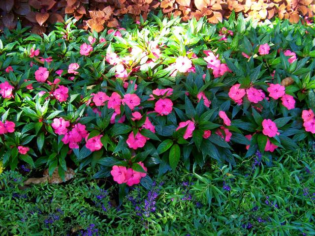 Picture of Impatiens hawkerii Magnum Hot Pink Magnum Hot Pink New Guinea Impatiens